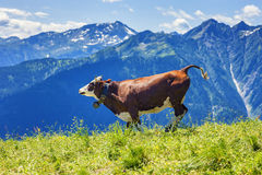 Cow running in french alps Royalty Free Stock Photography