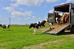 Cow runs in meadow after livestock transport Stock Photos