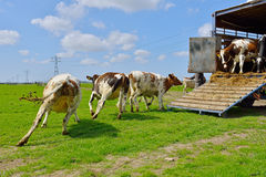 Cow runs in meadow after livestock transport Stock Images