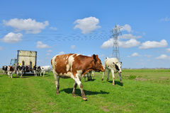 Cow runs in meadow after livestock transport Royalty Free Stock Photos