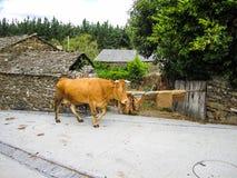 Cow in rural area Stock Photos