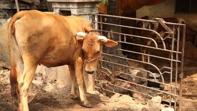 Cow in the rural home stock footage