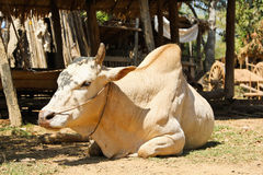 Cow in rural village,Myanmar Stock Photo