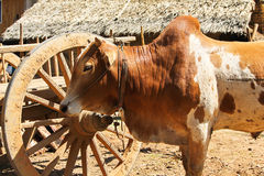 Cow in rural village,Myanmar Stock Photos