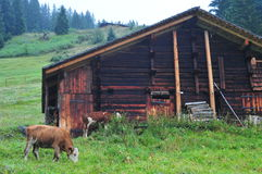 Cow and rustic house Stock Image