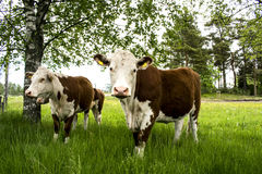 Cow& x27; s стоковое фото rf