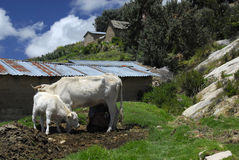 Cow and it's calf on Isla del Sol. Cow and calf on Isla del Sol with a small farm in background Royalty Free Stock Photo