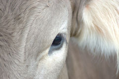 Cow's eye Royalty Free Stock Image
