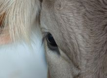 Cow's eye Royalty Free Stock Photo