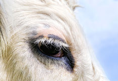Cow's eye. Close-up of an eye with eyelashes of a cow stock photos