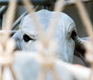 A cow`s eye in a dump truck Royalty Free Stock Photos