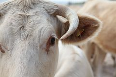 Cow's Eye. A cow roaming on the beach gets close to have a look Stock Image