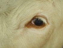 Cow`s eye Stock Photos
