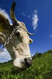 Cow's Head. Close-up of a cow's head chewing grass on green pasture under blue sky Stock Photography