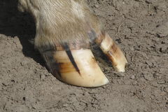Cows Hoof Stock Photography