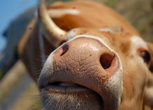 A Cow's nose Royalty Free Stock Photos