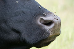 Cow's nose with flies on it, in profile Stock Photography