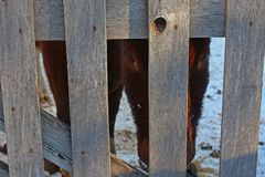 Cow`s pleading eyes behind the fence. Begging the eyes of a red cow behind the fence Stock Photos
