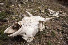 Cow`s skull on the ground in Nepal. Stock Photo