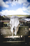A Cow's Skull Hangs on a Wooden Fence Royalty Free Stock Photo