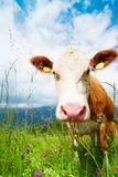 Cow's snout Royalty Free Stock Photo