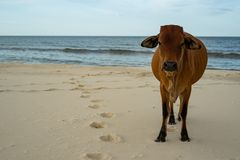 Cow on the sand beach stock images