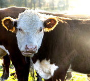 Cow with scared expression Royalty Free Stock Photo