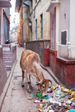 Cow scavenging food from a pile of rubbish Stock Images