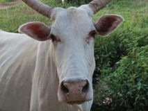 Cow scientifically Bos taurus Stock Photography