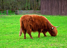 Cow in Scotland Royalty Free Stock Photography