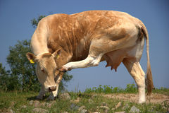 Cow scratches his head Stock Image
