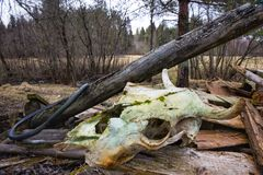 Cow scull with moss stock image
