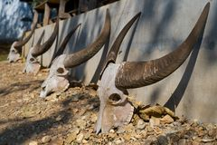 Cow sculls Royalty Free Stock Photo
