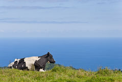 Cow By The Sea. Cow Laying on Field Overlooking The Sea Stock Photos