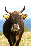 Cow by the sea. сhewing the grass Royalty Free Stock Photo