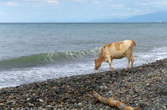 Cow and the sea Royalty Free Stock Photos