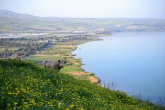 Cow at the sea of Galilee Kinneret lake from Mt. Arbel mountain, beautiful lake landscape, Israel, Tiberias stock image