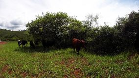 Cow Selfie. A small herd of cows relaxing under some trees, and one cow decides to take a selfie stock video