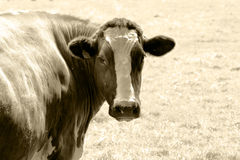 Cow in sepia Stock Photo