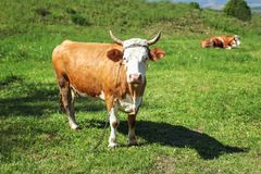 Cow, shackled with metal chain looking into camera, grazing on s stock photography