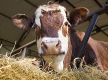 Cow in shed. A cow in feeding shed being inquisitive royalty free stock image