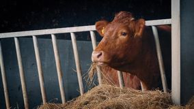 Cow In Shed Eating Straw. Closeup of brown dairy cow in cattle shed eats straw stock footage