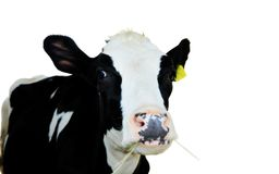 Cow in shed. A cow in feeding shed on white background Royalty Free Stock Photos