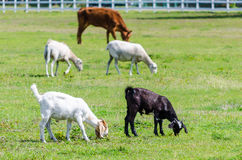 Cow Sheep and Goat in a Pasture. A cow, sheep, and goats in a pasture grazing and producing organic foods royalty free stock images