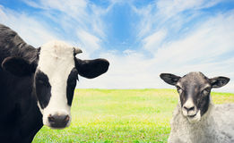 Cow and sheep grazing Stock Image