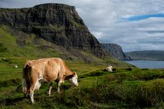 A cow and a sheep grazing on the Isle of Skye near Neist Point Lighthouse. Some farm animals hanging out on the Isle of Skye near Neist Point in Scotland royalty free stock image