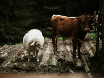 Cow and sheep on the ground Royalty Free Stock Photos