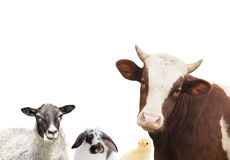 Cow and sheep Stock Photo