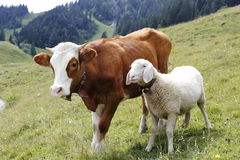 Cow and sheep. A cow and a sheep are standing on a field Royalty Free Stock Photo
