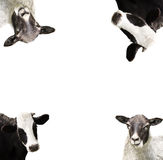 Cow and sheep Royalty Free Stock Photo